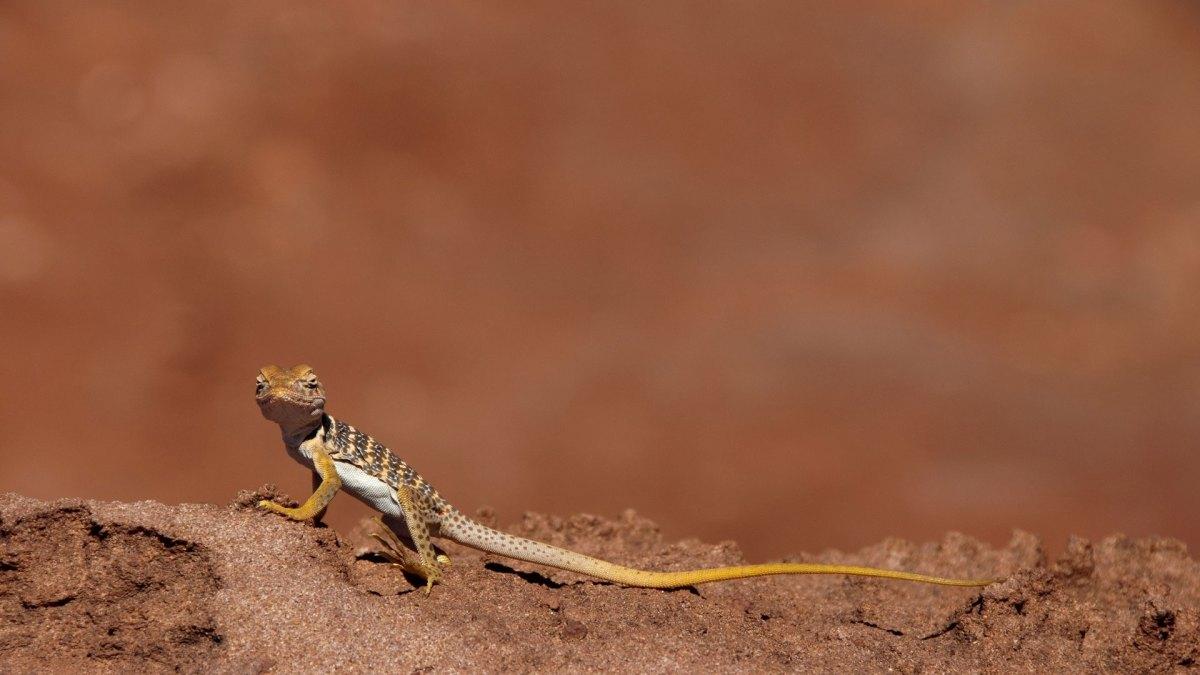collared lizard baby
