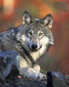La fidelidad del lobo
