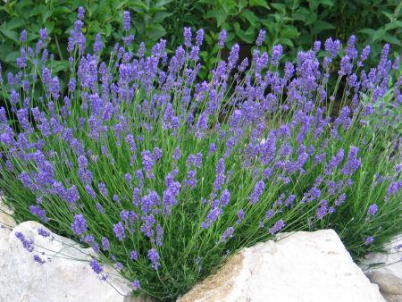 Lavendel Pf