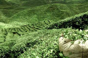 A field of green tea
