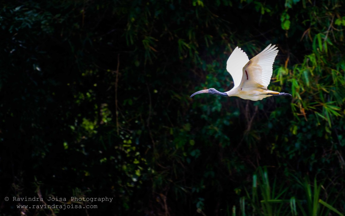 Black Headed Ibis - flying birds