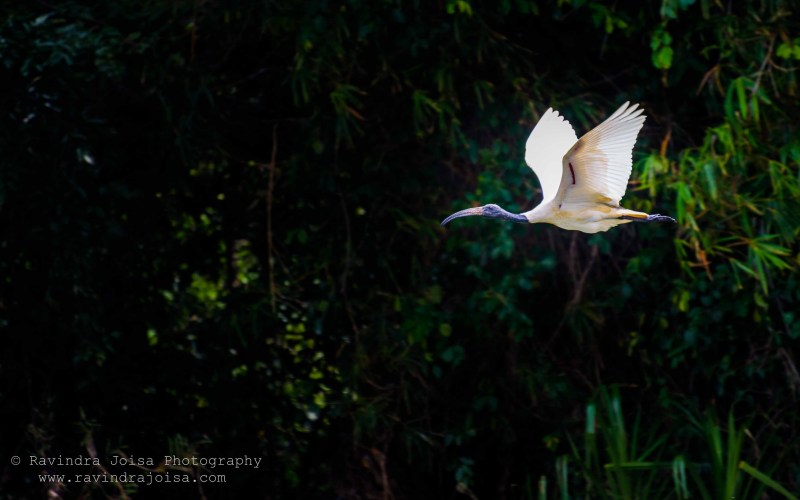 Black Headed Ibis - flying bird