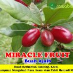 Bibit Miracle Fruit