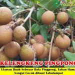 Bibit Lengkeng Pingpong