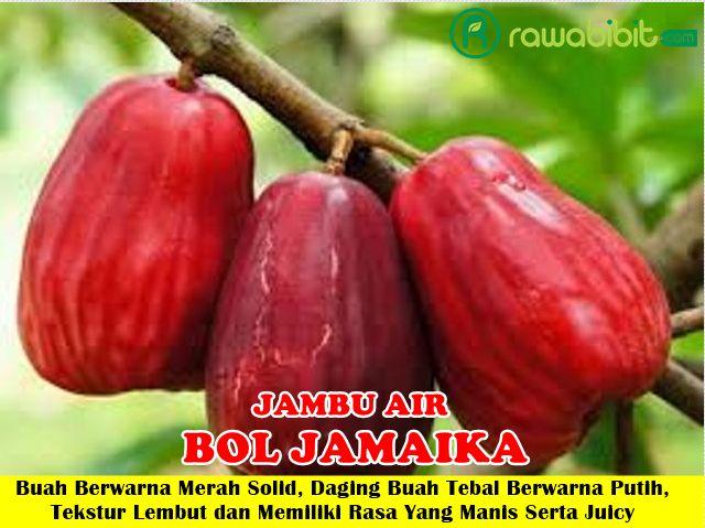 Jambu Bol Jamaika Unggul