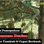 4 Tips Pemupukan Tanaman Durian Yang Baik dan Benar Agar Mampu Tumbuh Dengan Subur dan Cepat Berbuah