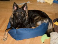 Dogs in Beds - German Shepherd Dog Forums