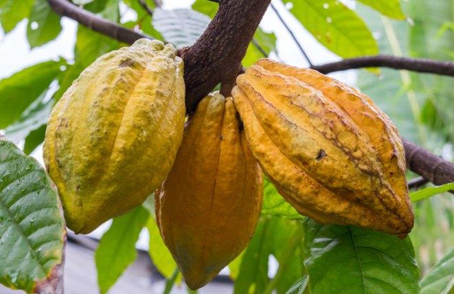Cacao Pods at Big Tree Farms Bali