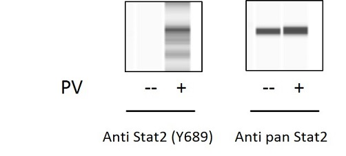 STAT2 (Tyr689) and Total STAT2 ELISA Kit