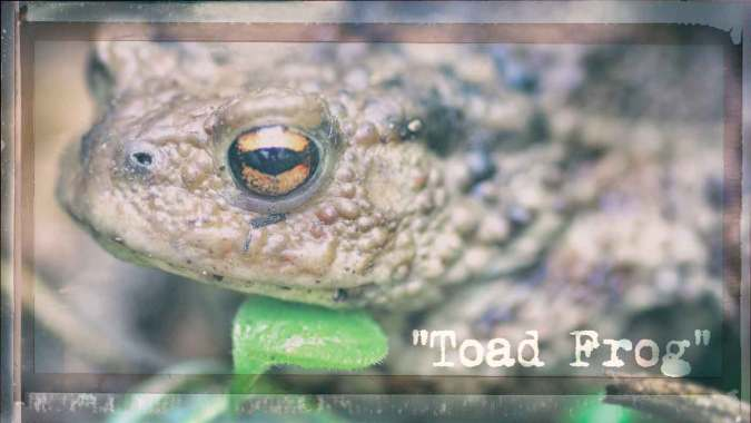 "A ""Toad Frog"""