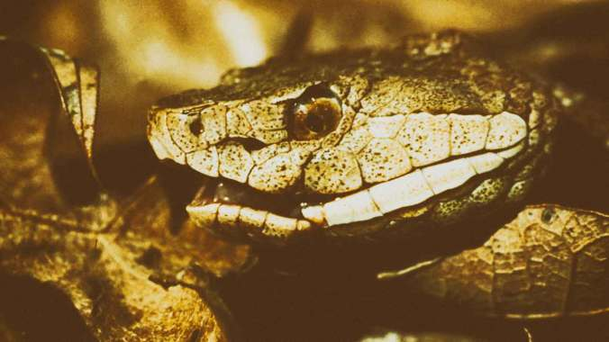 Copperhead_snake