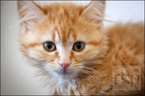 cose up of ginger kitten