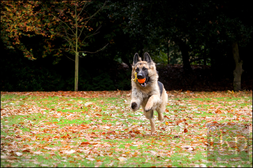 German Shepherd running in leaves in Denzell Gardens by Ray Kearney Photography