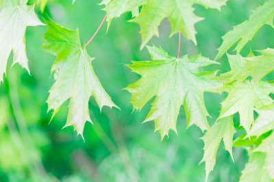 Beautiful green maple leaves background