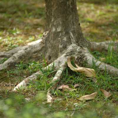 Above-ground tree roots with green grass and fallen leaves.