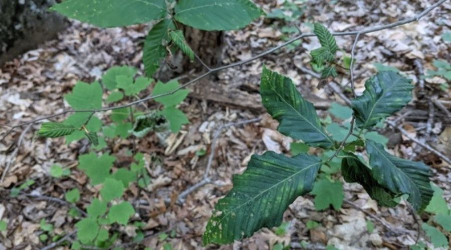 Beech tree saplings infected with beech leaf disease.