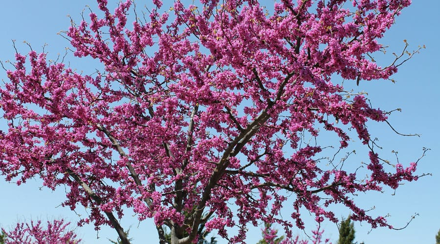 Cercis canadensis or redbud tree in Connecticut