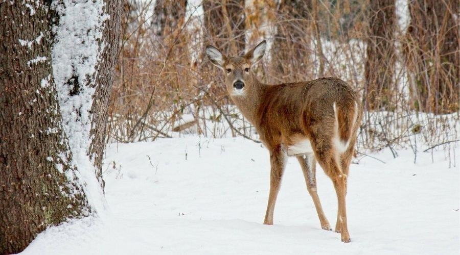 A white-tailed deer escapes into a wooded area in Connecticut