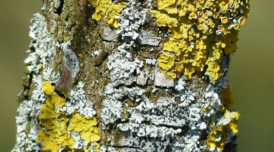 yellow and pale green lichen on a tree trunk