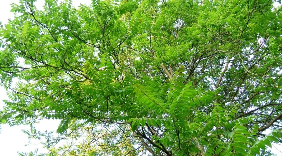 Close-up view of leaves and branches on Tree of Heaven, one of invasive and problem tree in Connecticut.