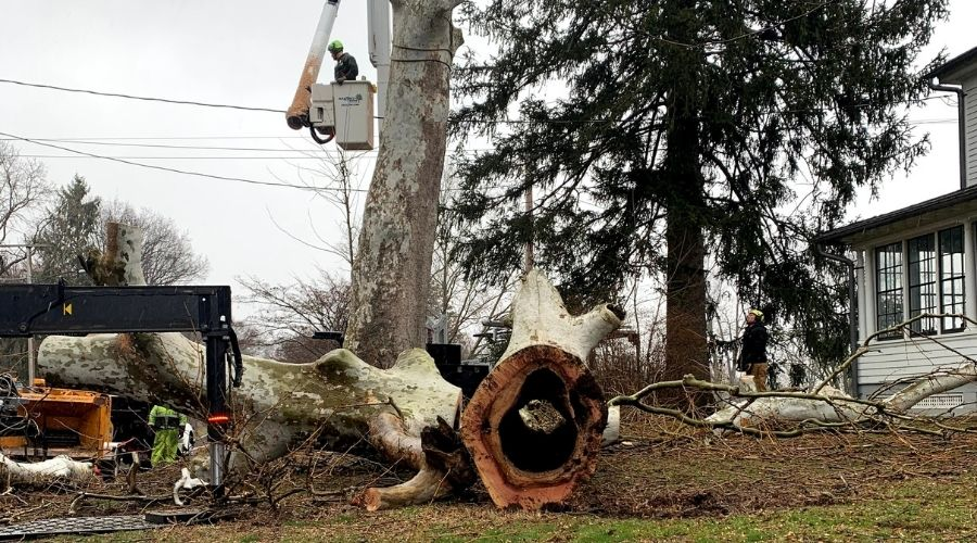 Rayzor's Edge Tree Service removes a tree in New Jersey that is completely hollow on the inside, which is very dangerous