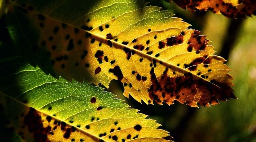 Yellowing leaves with holes