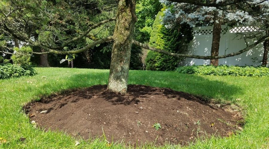 A conifer tree planted too deeply.