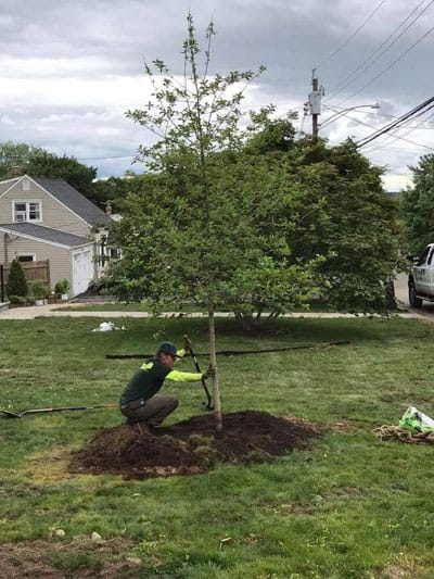 A Rayzor's Edge Tree Care employee plants a deciduous tree