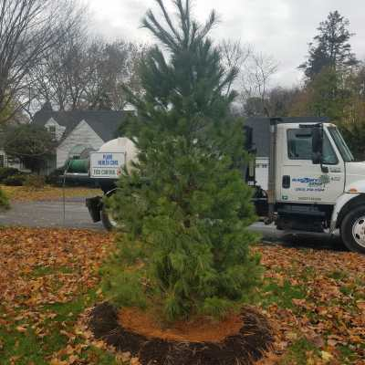 An evergreen tree planted in fall by Rayzor's Edge Tree Service