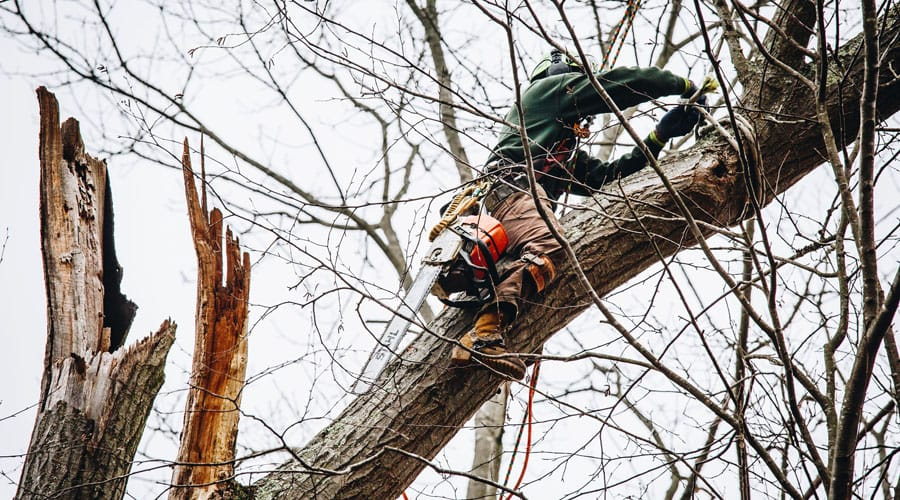 A Rayzors Edge Tree Service employee climbs a tree using ropes and protective gear to prune a damaged tree in the spring before the tree leafs out