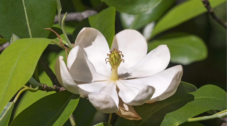 A white sweetbay magnolia flower against green leaves in spring
