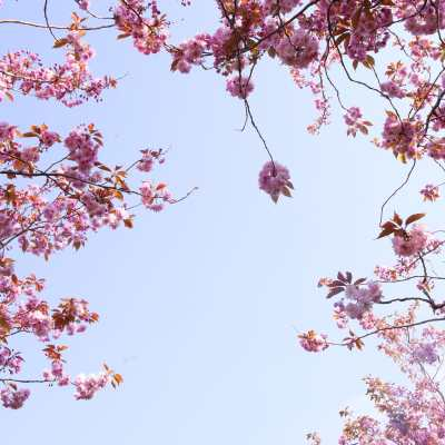 Spring blossoms on a tree, looking up into a light blue sky