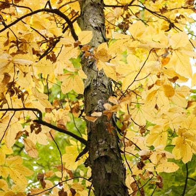 yellow fall leaves on shagbark hickory