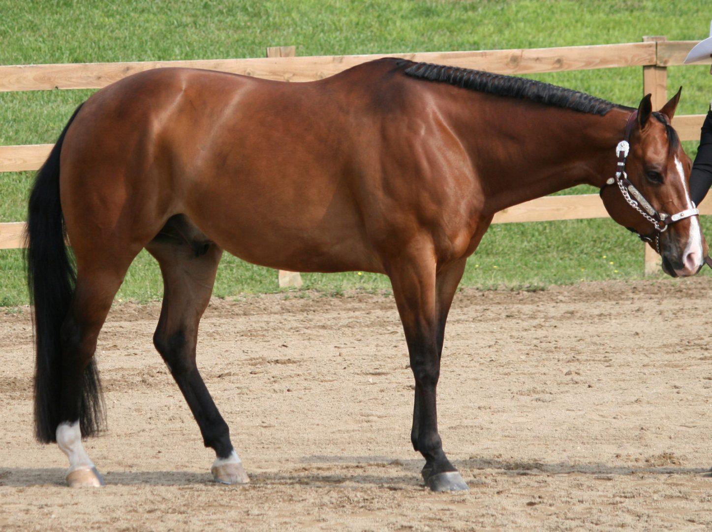 Caballos quarter horse