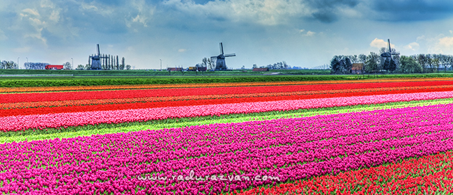 Peisaj olandez cu lalele frumos colorate in prim plan si mori de vant specifice la distanta