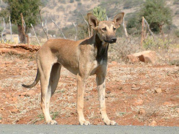 Africanis: un cane mite, adatto a tutti gli amanti degli animali - RazzediCani.net