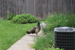 Reader Kirsten Weismantle caught a glimpse of this peahen that found its way into the back yard of 229 Oak Park Ave. on Saturday.