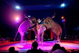 Armando Loyal's elephants perform in the circus ring.