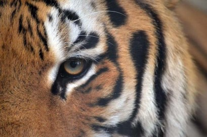 Kayla Fernandez's photo of a tiger at the Kyoto Zoo netted her an award in the Augie Abroad photo contest.