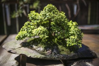 Phil Malhiot's bonsai tree.   Chandler West/Staff Photographer