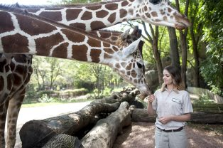 Zookeeper Raquel Ardisana feeds the Brookfield Zoo giraffes on Sept. 25. The Ardisana sisters took advantage of children's programming at the Brookfield Zoo for many years. | William Camargo/Staff Photographer
