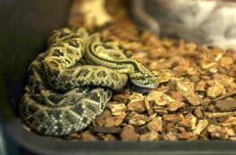 A rattlesnake, one of a dozen venomous snakes in the collection.   William Camargo/Staff Photographer