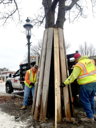Construction began on the E. Burlington St. streetscape project on March 14 with erecting barriers around trees. | BOB UPHUES/Staff