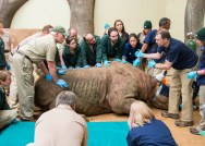 A dedicated team of staff take direction from Dr. Michael Adkesson (right), vice president of clinical medicine for the Chicago Zoological Society, as they prepare to position Layla, a 2,300-pound eastern black rhinoceros at Brookfield Zoo, onto a mat in preparation for her to be moved to a portable CT scan. Layla is being treated for an obstruction in her nasal passageway, and the scan will assist veterinarians in determining the best treatment plan for her. (Photo courtesy of Chicago Zoological Society)
