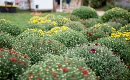 Fresh fall mums are displayed for sale on Aug. 29, during the weekly farmers market in downtown Riverside.   Alexa Rogals/Staff Photographer