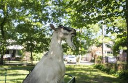 Goliath, the goat, climbs up to each leaves off of a tree branch on Saturday, Aug. 3, during the Chicago Scots' 103rd annual picnic at Caledonia Senior Living and Memory Care in North Riverside. (Alexa Rogals/Staff Photographer)