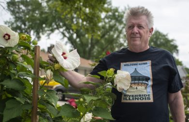 Ed Buck planted several hibiscus plants in the public parkway in front of his Desplaines Avenue home seven years ago. This year, they've drawn some complaints and the scrutiny of Riverside officials. (Alexa Rogals/Staff Photographer)