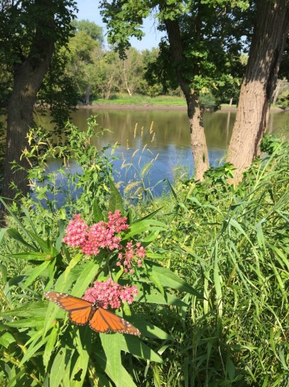 Pollinators like Monarch butterflies have returned to the banks of the Des Plaines along Riverside Road with the regeneration of native species like swamp milkweed. (Photo courtesy of Michael Collins)