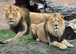 Brookfield Zoo invites kids to post drawings and messages for the zoo's two new African lions, Brutus and Titus, by sharing them on the Brookfield Zoo Facebook page.