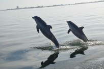 The Chicago Zoological Society continues its winter virtual lecture series on Tuesday, Jan. 26 at 7 p.m. when Randy Wells, Ph.D., director of the society's Sarasota Dolphin Research Program, discusses the world's longest-running study of a wild dolphin population. (Courtesy of Chicago Zoological Society)